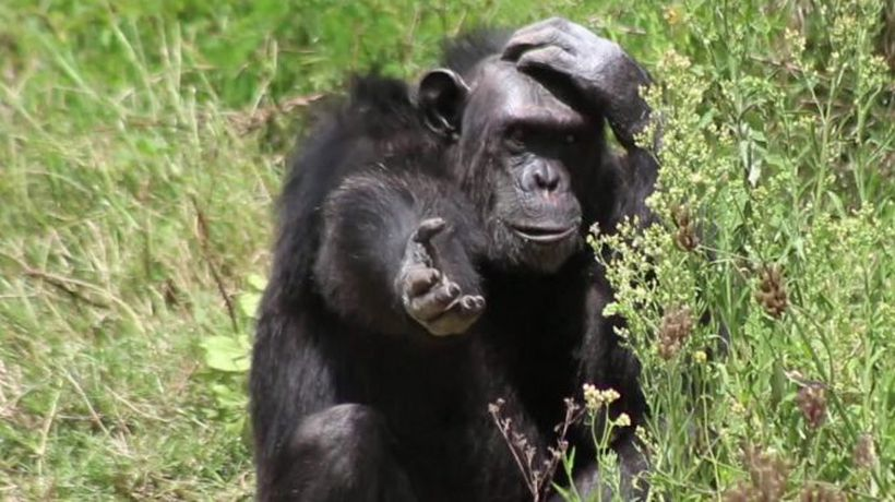 'People were keeping these chimps as pets'