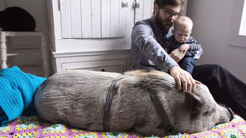 Montreal couple hoping city lets them keep pet pig named Babe
