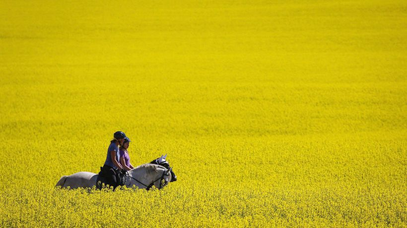 Chinese importers halt Canadian canola purchases