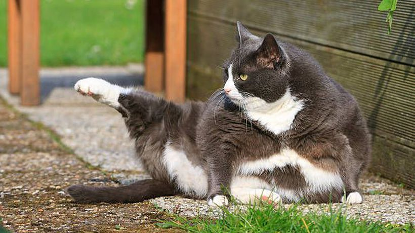 Study shows adult cats continue to gain weight
