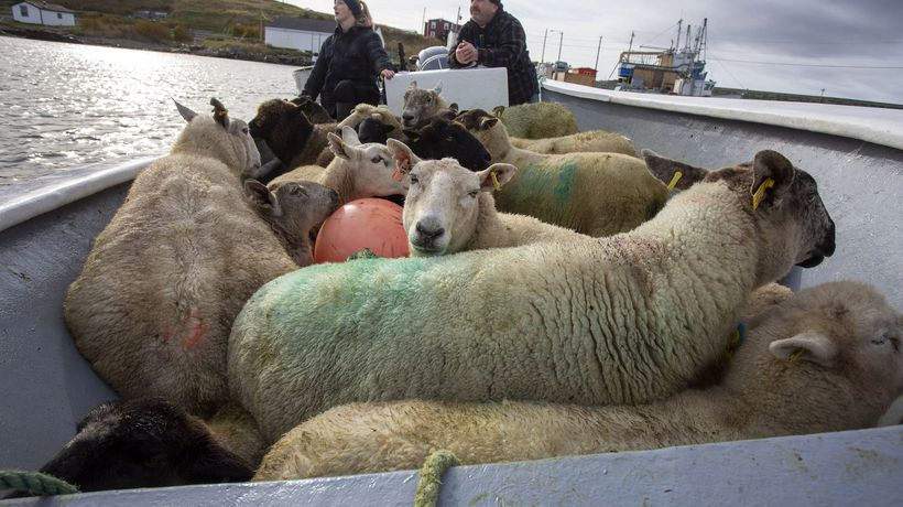 Summer grazing island sheep moved back to mainland
