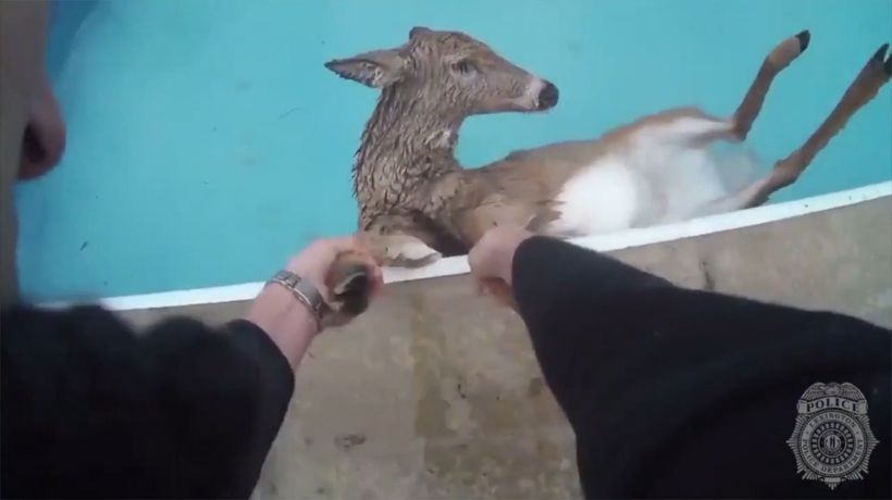 This Deer Was Close To Drowning And Hanging On For Its Life
