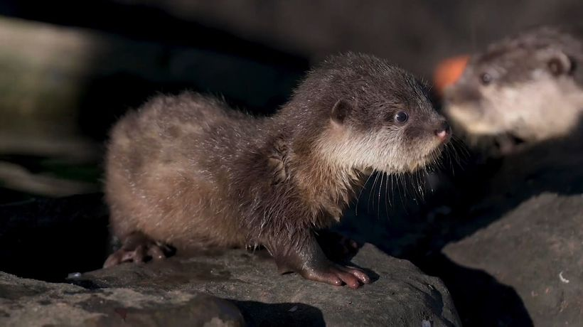 Baby Otters Have First Swimming Lessons