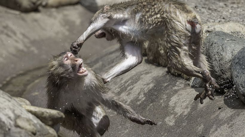 Hilarious monkey fights caught on camera