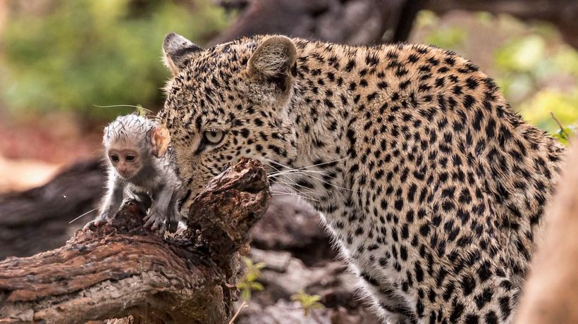 Leopard Uses Captured Baby Vervet Monkey As Bait