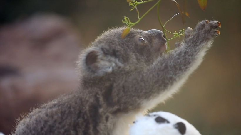 First Koala Joeys Born Since Catastrophic Bush Fires Impacted The Species