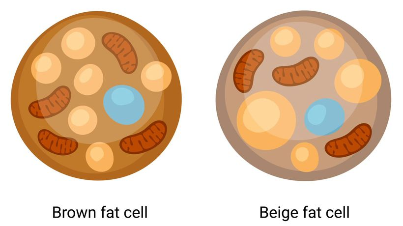 Brown fat facts: It can protect against chronic diseases