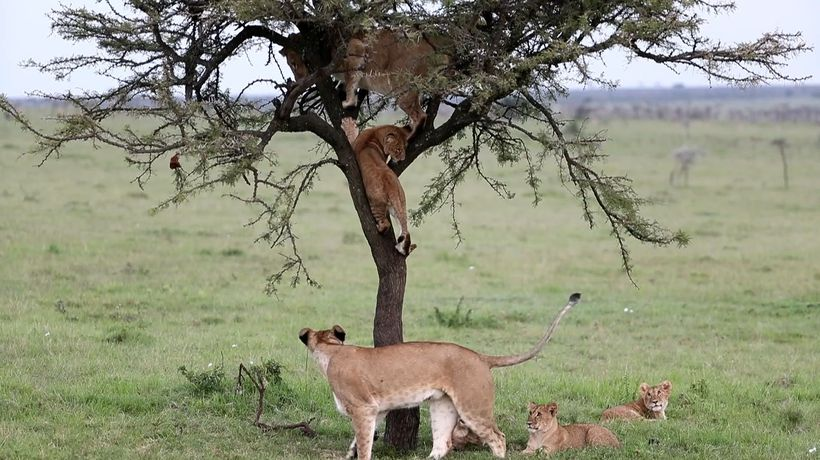 It's My Turn! Hilarious Scenes As Lions Use Tree As A Play Park
