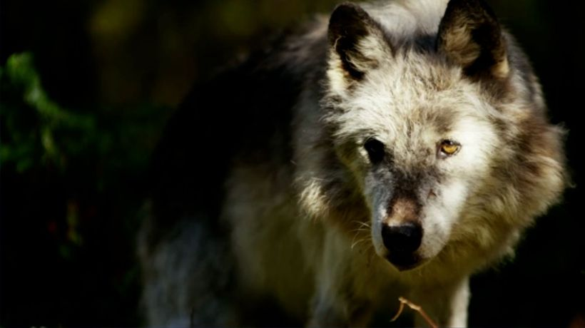 First Gray Wolf Pups Spotted in Colorado Since the 1940s