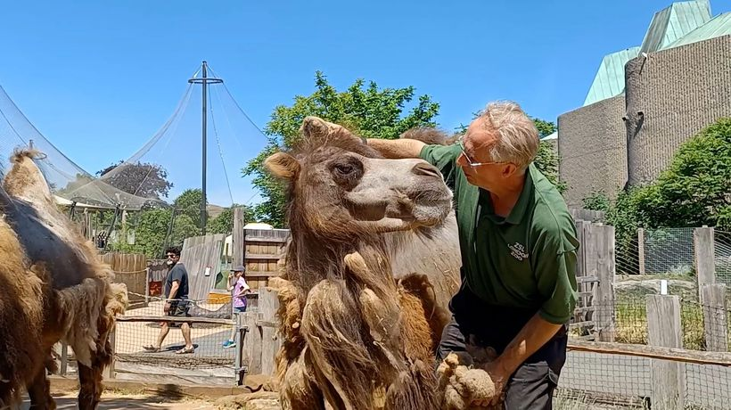 Bactrian Camel Gets The Hump After His Summer Groom
