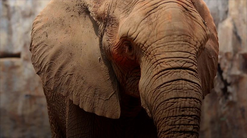 Ivory Poaching Driving Evolutionary Change in Elephants