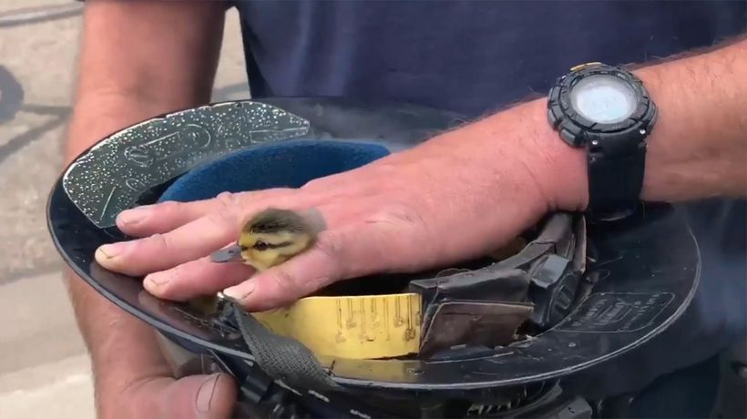How Many Ducklings Were Saved From This Storm Drain?