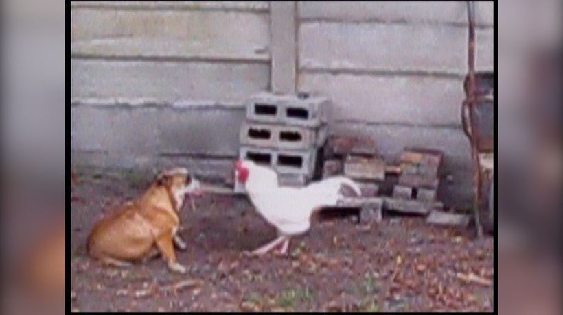 Rooster attacking dog