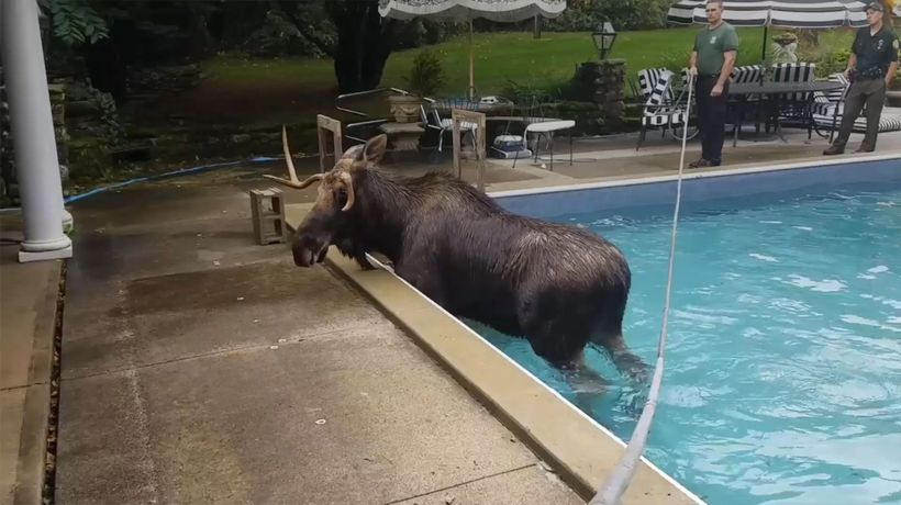 Rescuers Helped Moose Trapped In Swimming Pool
