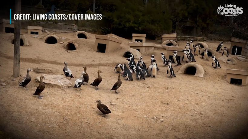Penguin And Duck Rugby Match