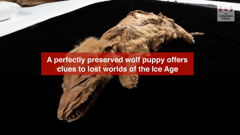 A perfectly preserved wolf puppy offers clues to lost worlds of the Ice Age