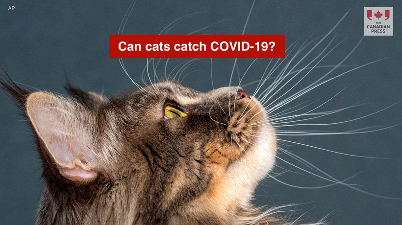 Can cats catch COVID-19?