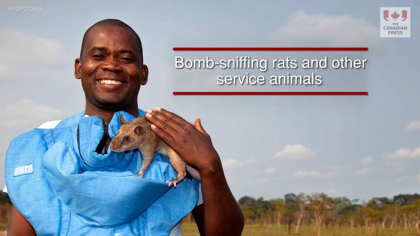 Bomb-sniffing rats and other service animals