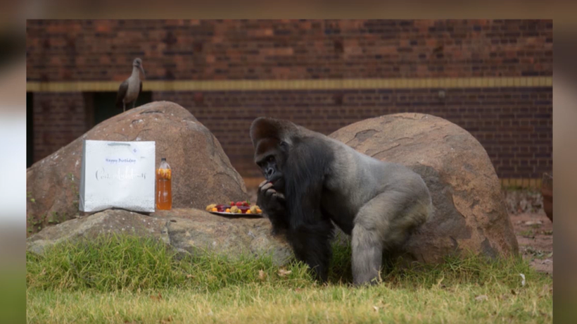 Makokou the gorilla celebrated his 35th birthday at the Johannesburg Zoo