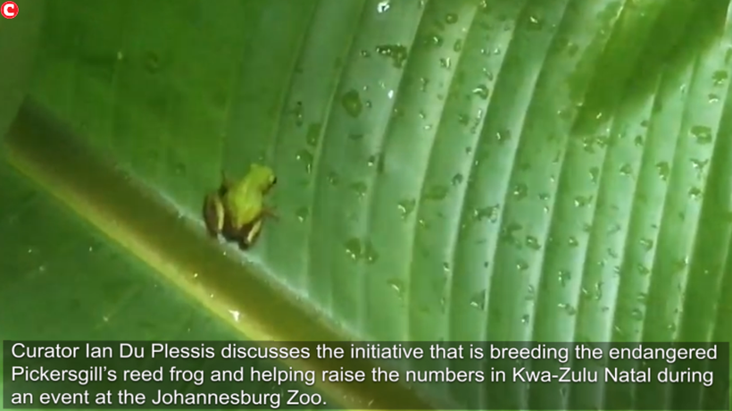 Du Plessis discusses the initiative that is breeding the endangered Pickersgill's reed frog