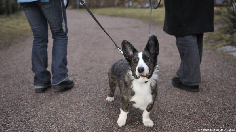 Germany: Corgis -- A dying breed?