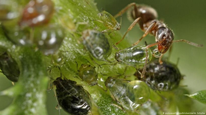 Harvesting sap with aphids