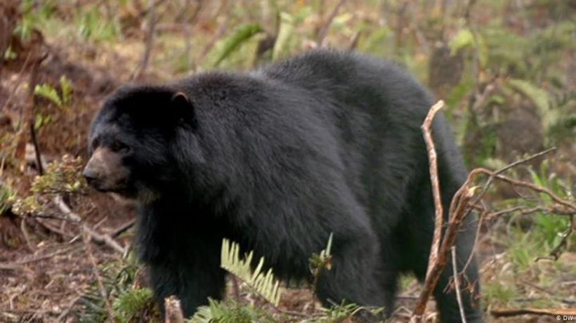 Colombia: Guardians of the spectacled bear
