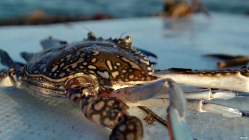 Tunisia: Invasive crabs as delicacy