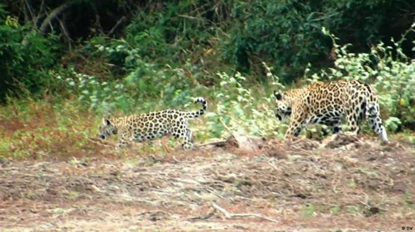 Protecting Colombia's jaguars