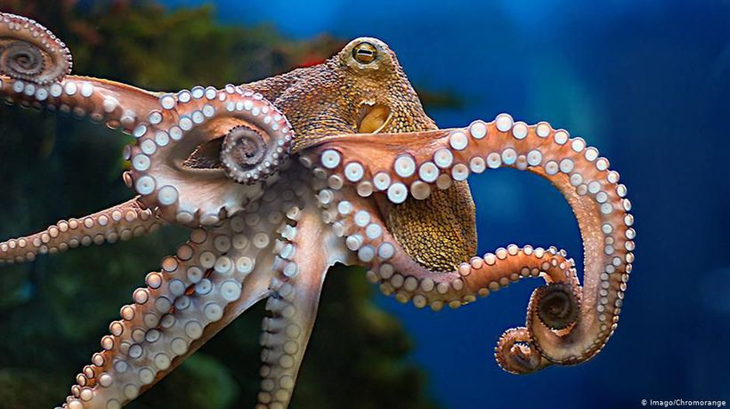 Portugal: A dispute over octopus fishery
