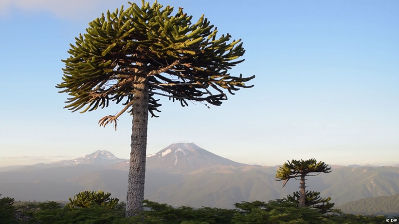 Indigenous peoples and Chile's Araucaria Forest