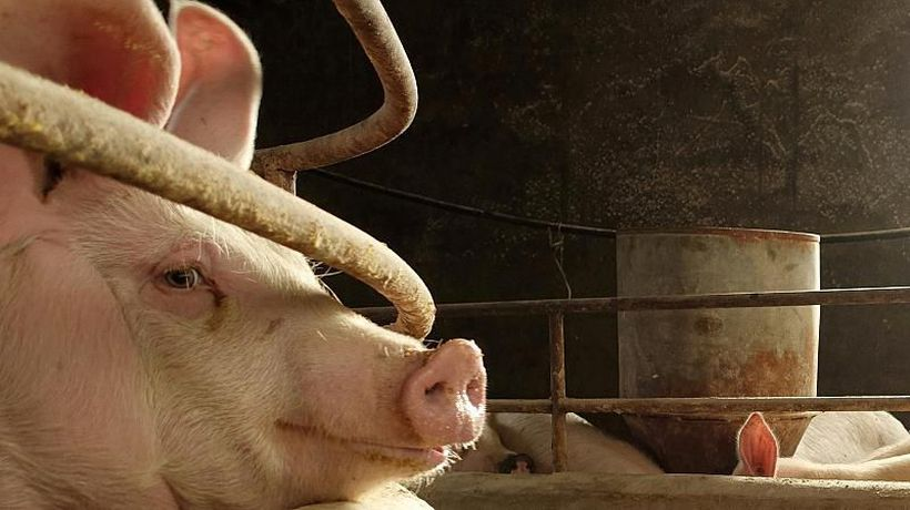 World News - Pig's brain function restored hours after death