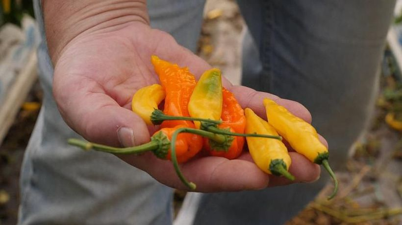 Would you taste the world's hottest chilies?