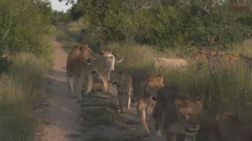 Virtual safaris show animals emboldened by lockdown in S.African game parks