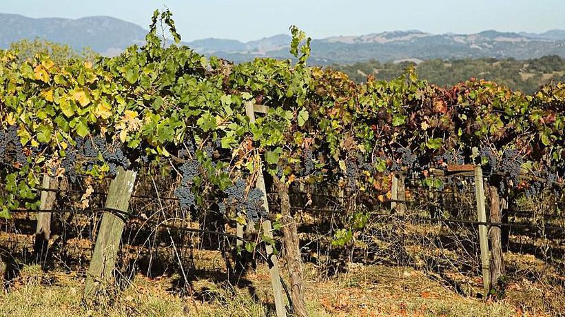 Bringing an ancient Roman vineyard back to life