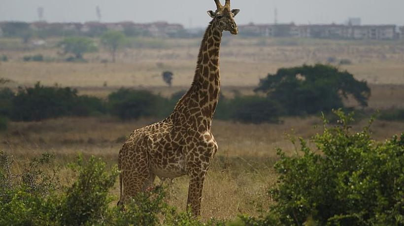 Conservationists Take On Giraffe Rescue from Island Floods in Kenya