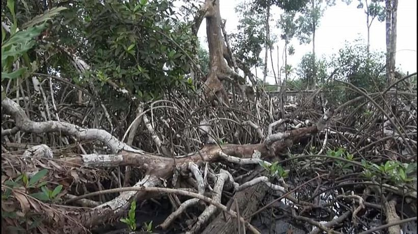 Gabon's magroves could fight climate change but are under threat