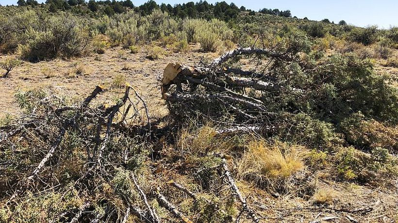 Invasive trees hold key to Cape Town's chronic water supply problems - Experts