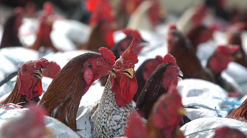 Senegal culls more than 40,000 birds as it records bird flu