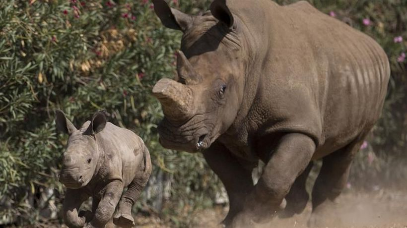 South Africa's Illegal Rhino Killings on the rise After Virus Curbs Ended