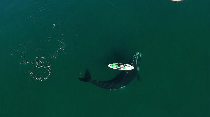 Curious Southern Right whale pushes paddleboard