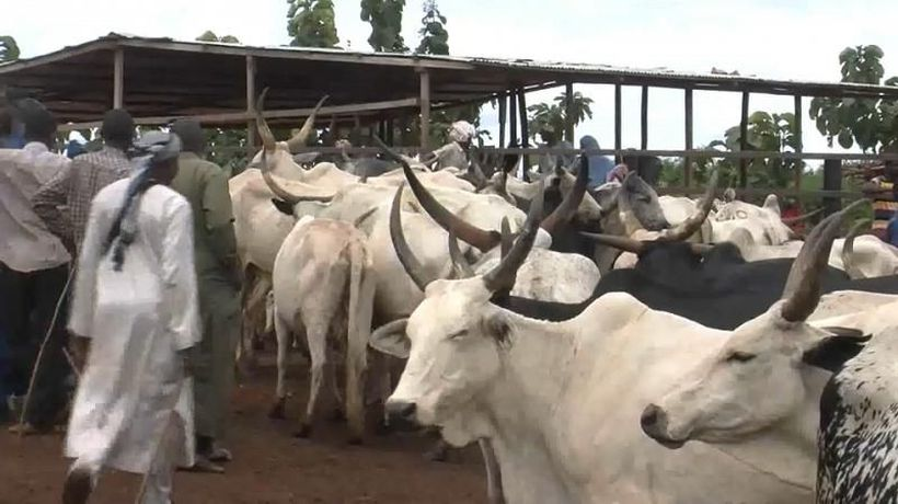 The Central African Republic's cattle market is a pillar of the economy
