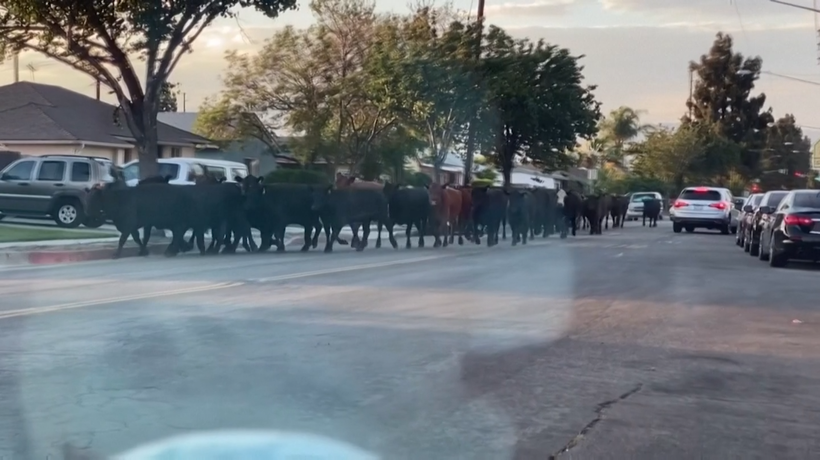 Herd of cattle runs through suburban streets after escaping LA slaughterhouse