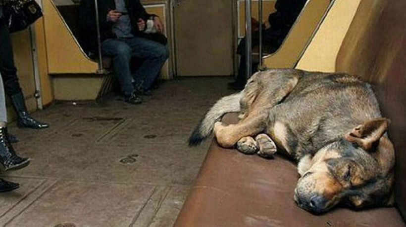 Moscow's Stray Subway Riding Dogs