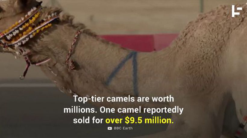 Multi-Million Dollar Camel Races in the Middle East