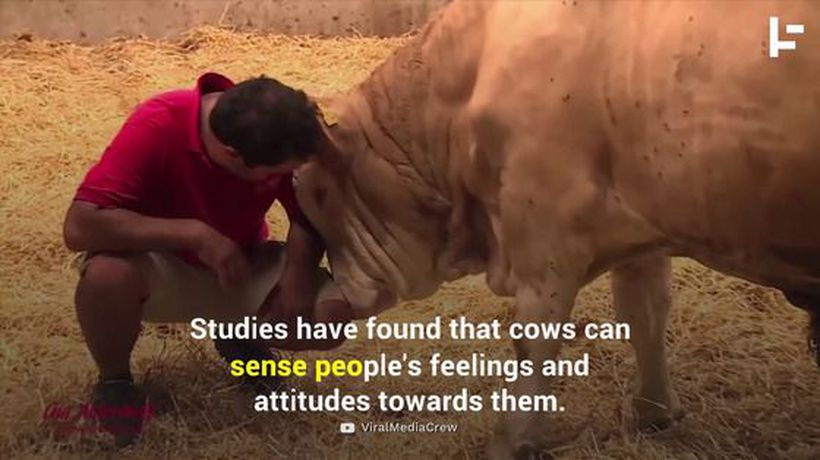 People Are Paying Big Money to Cuddle With Cows
