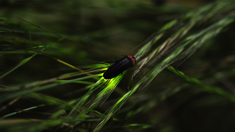 Humans Are Putting Fireflies at Risk of Extinction