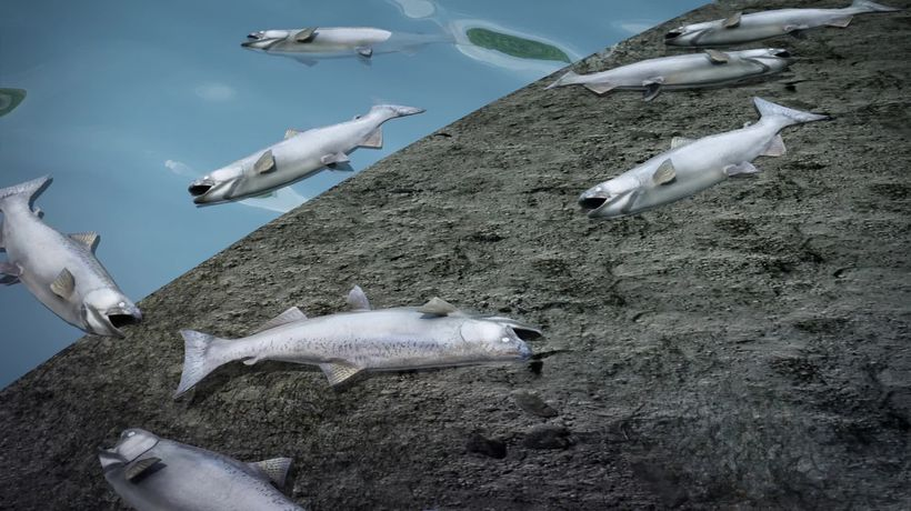 Unprecedented heat wave causes massive salmon die-offs in Alaska