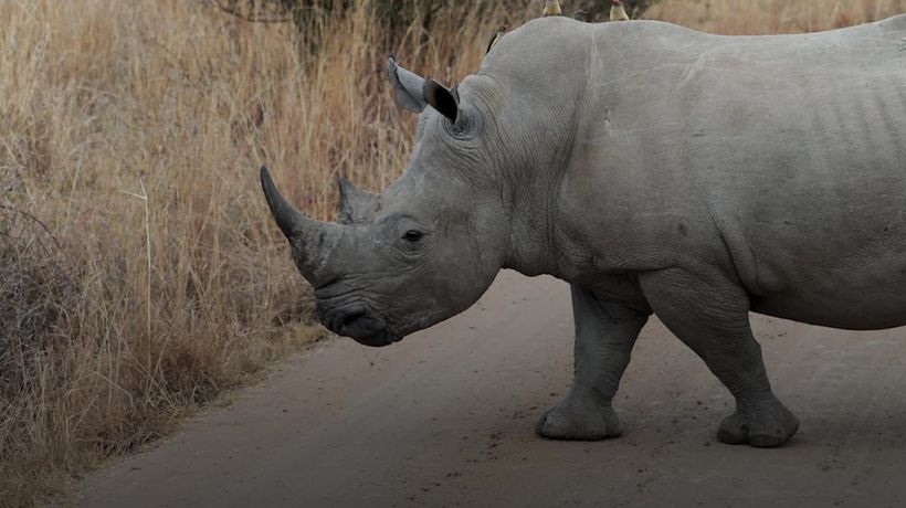 Is the future of Africa's rhinos finally looking hopeful?