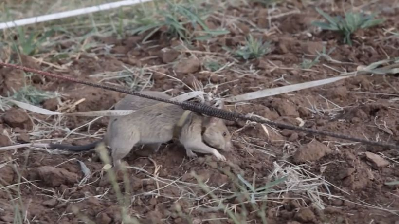 How Giant African Rats Are Helping Uncover Deadly Land Mines In Cambodia